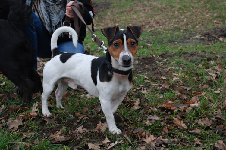 Jack-Russell-Terrier Snoopy